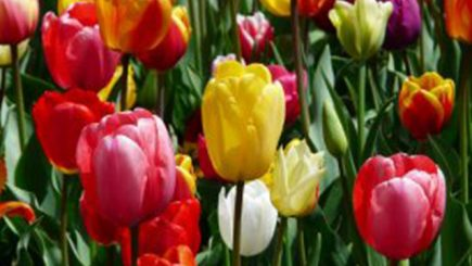 tulipano fiori matrimonio primavera